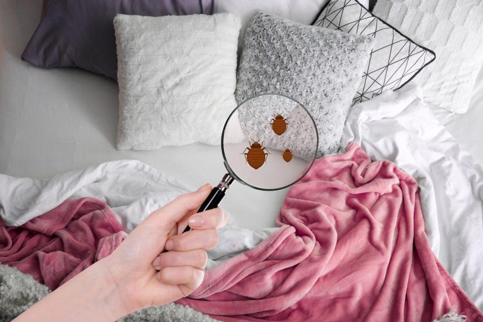 Punaise de lit Fuveau